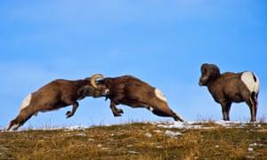 Bighorn Sheep courtship