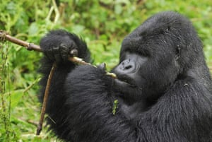A silverback mountain gorilla eating, in the Volcanoes National Park, Rwanda. Four out of six great ape species are now classified as critically endangered – only one step away from going extinct – with the remaining two also under considerable threat of extinction.