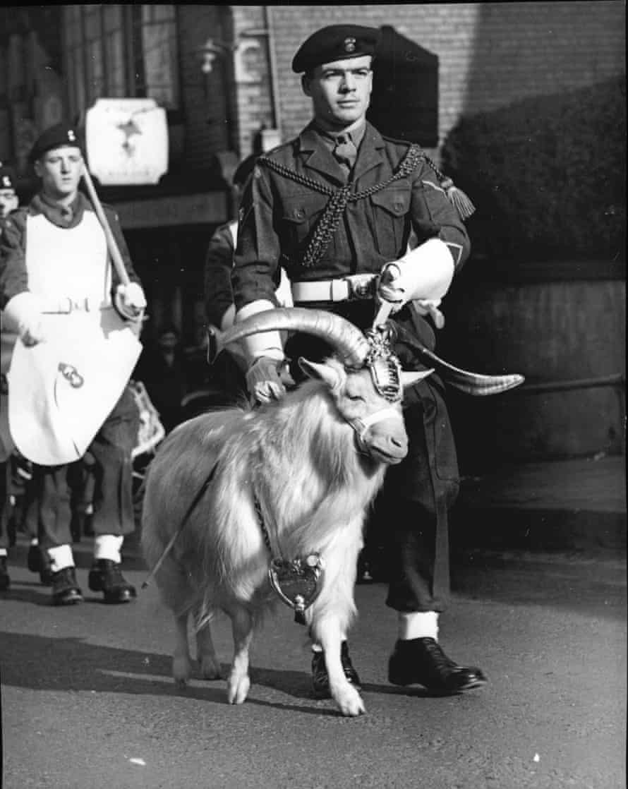 Billy the Goat, mascot of the 1st Battalion of the Royal Welch Fusiliers, a descendent of Tibetan goats gifted to Queen Victoria by the Shah of Persia.