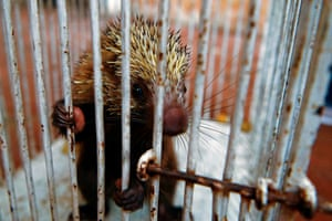 A wounded crested porcupine at the veterinary clinic of the ministry of the environment, waiting to be treated and released, in San Salvador.
