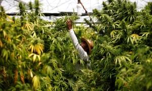 A worker at a medical marijuana plantation near Nazareth, Israel.