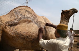 Karachi, Pakistan A man shaves decorative markings into a sacrificial camel's fur before the Eid al-Adha festival. The holiday is the holiest of the two celebrated by Muslims each year