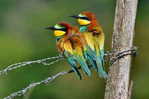 European bee-eater (Merops apiaster) couple nesting in the lower valley of the river Bourbeuse, Territory of Belfort, France