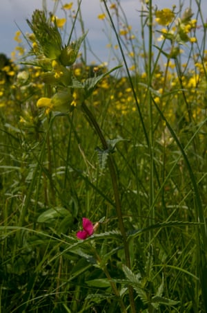 Yellow rattle and grass vetchling