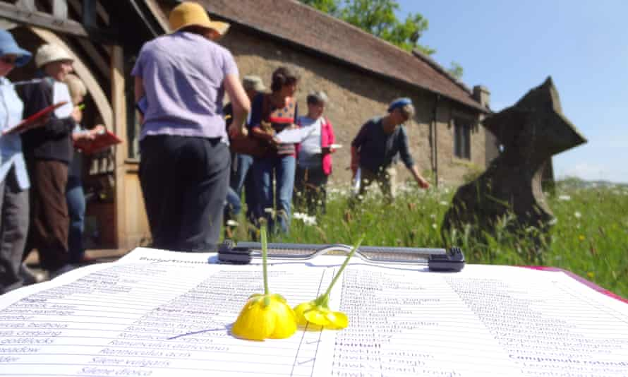 Buttercup identification at Whitton church in Shropshire.
