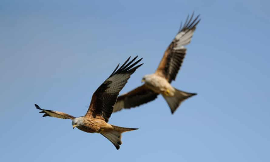 Wing and a prayer: red kites soaring.