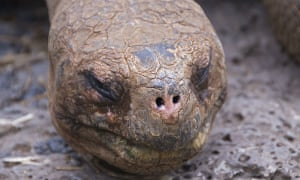 Lonesome George, the last known Pinta island giant tortoise, died in 2012.