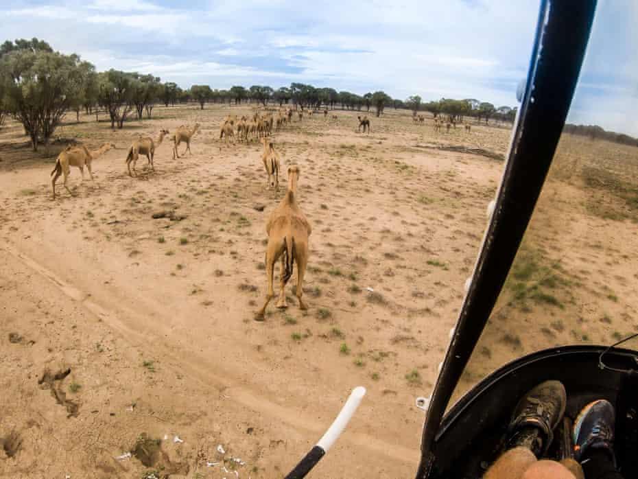 Camel herding via helicopter at Shandonvale, Queensland.