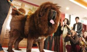 Was the Tibetan hunting dog at Crufts a Tibetan Mastiff?