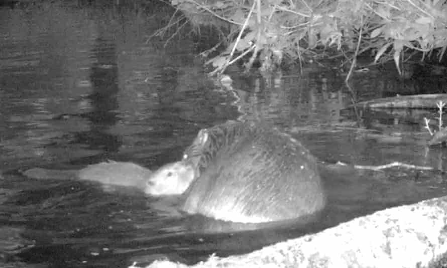 Beaver kit and mother on the National Trust's Holnicote Estate in Somerset