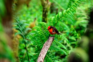 A Darwin's flycatcher or little vermilion flycatcher (Pyrocephalus nanus) in the Santa Cruz island of Galapagos