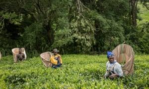 Fairtrade tea producers in Malawi.