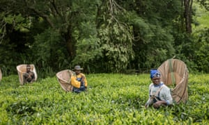 Fairtrade tea producers in Malawi.