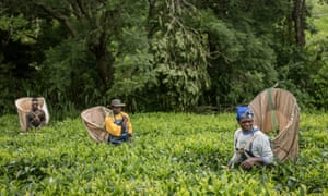 Fairtrade tea producers in Malawi
