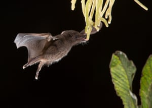 Anoura Geoffroy's tailless bat  The Perfect Moment category  Adult Runner Up