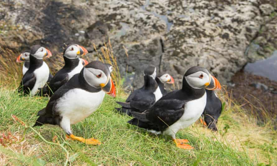 Puffins on the Isle of Mull, Scotland.