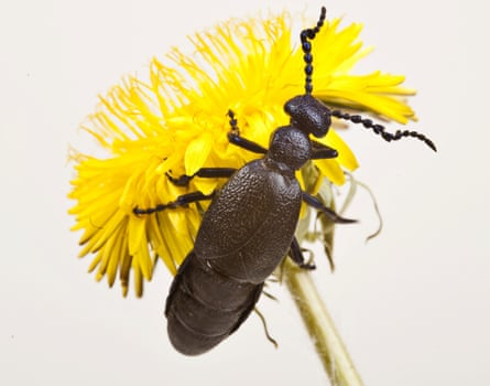 The European oil beetle, one of many insect species under threat in the UK.