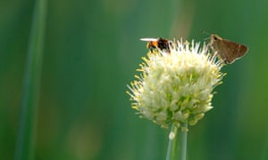 Bees and butterflies are both in steep decline, say conservationists.