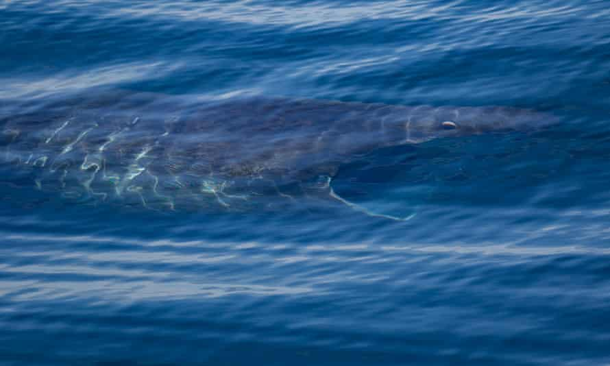 A basking shark in the waters off southern California.