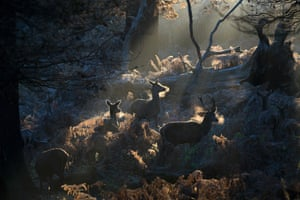 Frost covers the ground in Richmond park as deer graze on bracken at sunrise in London, UK
