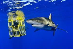Oceanic Whitetip Shark swims past biologist Wes Pratt inside the shark cage, Bahamas