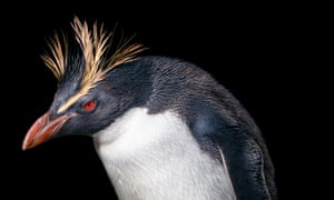 Catching a red-eye: Romain Pizzi is based in Edinburgh where he treats rockhopper penguins, but flies around the world for operations.