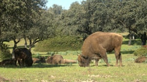 Spanish conservationists hope the return of the near-extinct bison - known as 'a living strimmer' - will help to clear the undergrowth that fuels wildfires