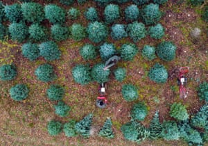Christmas Common, UKWorkers at the Tree Barn in Oxfordshire, cut and net Christmas trees which will be sold online for the first time this year, as well as in the farm shop
