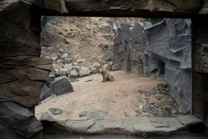 Brown Bear, Yerevan Zoo, Armenia.