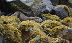 A European otter (Lutra lutra) leaves its holt