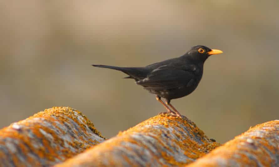 urban blackbird