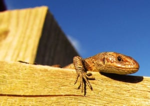 Lizard on a fenceA lizard is bathing in the sunlight on a fence up in the fields. It seems content just perched there Photograph: Billy Rickards/GuardianWitness