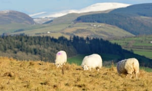 Sheep grazing above Comins Coch
