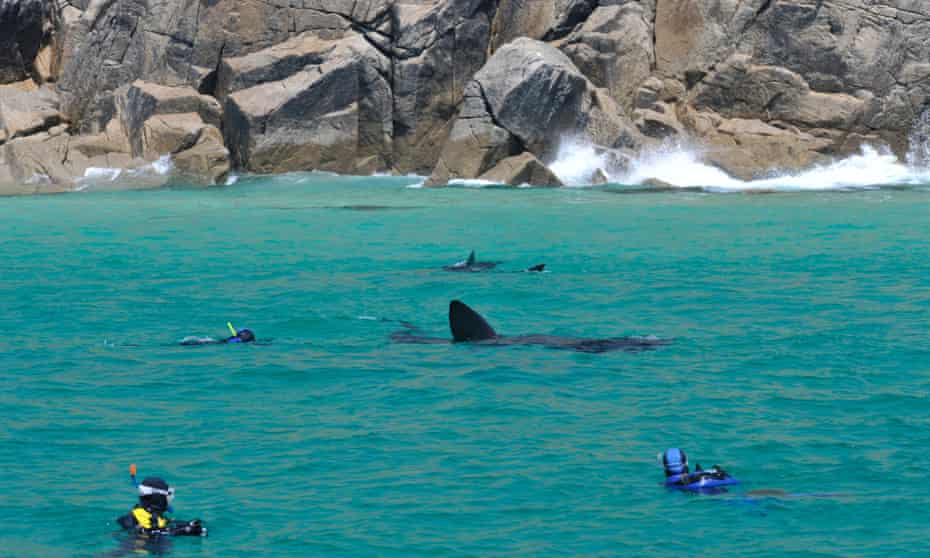 Snorkellers and a diver watch a basking shark close to the shore.