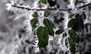Hoar frost on a bush in Kemble, Gloucestershire