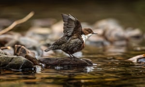 Dipper on a rock ready to fly