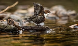 'A dipper / breasts the Don and wades in deep and deeper'.