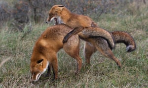 Red foxes (Vulpes vulpes) mating.