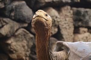 Diego the tortoise on Santa Cruz Island, Galapagos, Ecuador