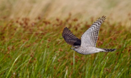 The sparrowhawk is the bird of prey you're most likely to spot in your garden.