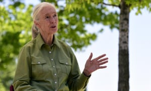 Dr Jane Goodall: 'I think of chimpanzees as chimpanzeebeings because they're so like us.'