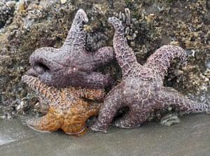 Ochre sea stars, or starfish, in the tidepools of Kalaloch Beach, near Forks, Washington