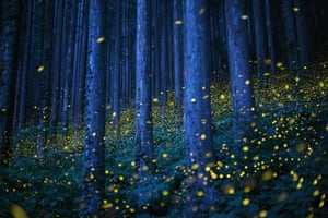 Swarms of fireflies illuminate the undergrowth at night in a forest on Shikoku, the smallest of Japan's four main islands