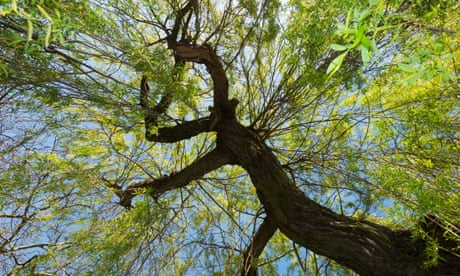 Could the willow help us fight cancer?
