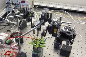 A scientist places electrodes on a plant to study its defense mechanisms