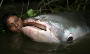 The Mekong giant catfish is classified as critically endangered.