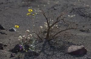 Wildflowers bloom around a shrub in Death Valley, California