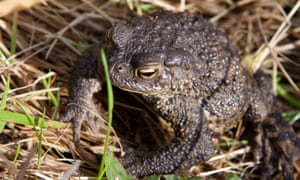 Common toad in the reeds at Long Mead.