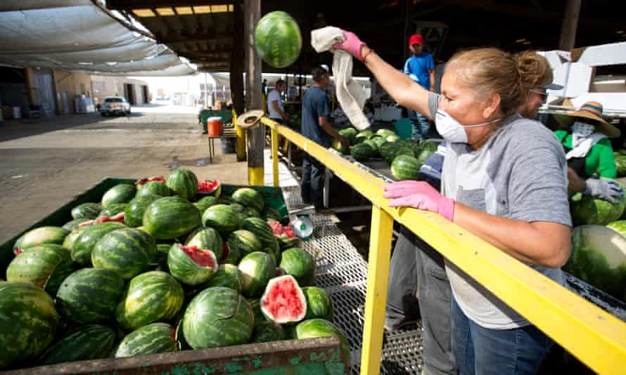 A farm worker tosses a rejected watermelon into a metal crate for discarded fruit