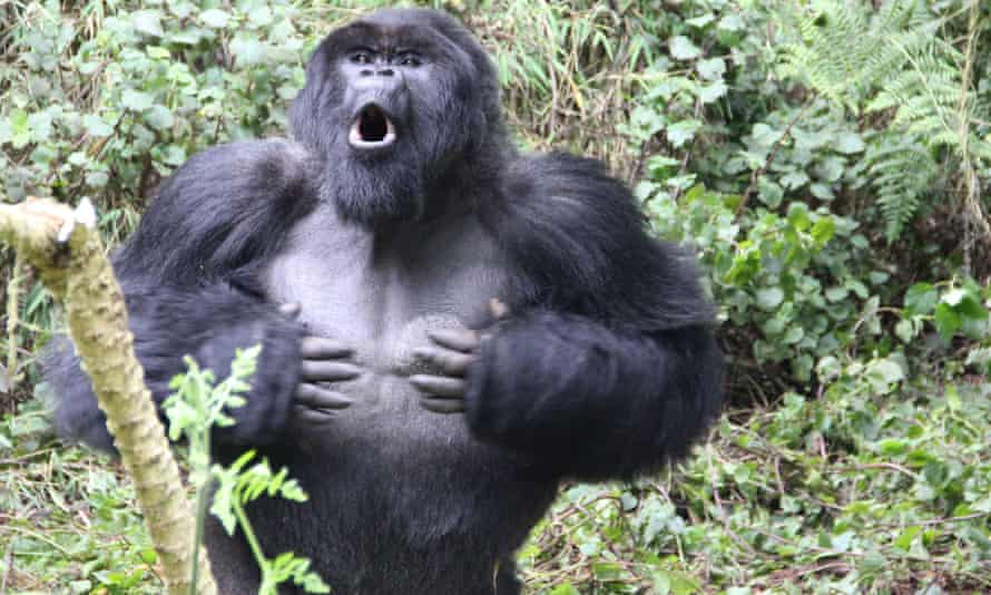 A silverback gorilla chest-beating